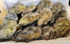 Irische Austern - Oysri Nr. 2 gekühlt - ca 25 Stück a) 80-120gr